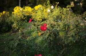 靭公園のバラ