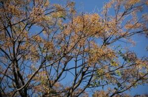 青空の中之島で撮影した、素敵な樹木と実