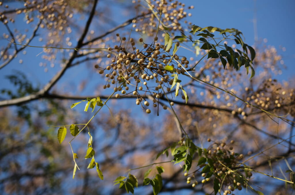 中之島公園の素敵な樹木とその枝