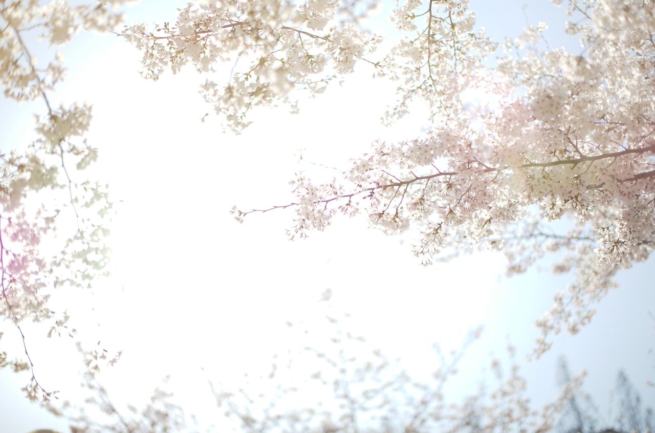 眩しいほど美しい桜と青空