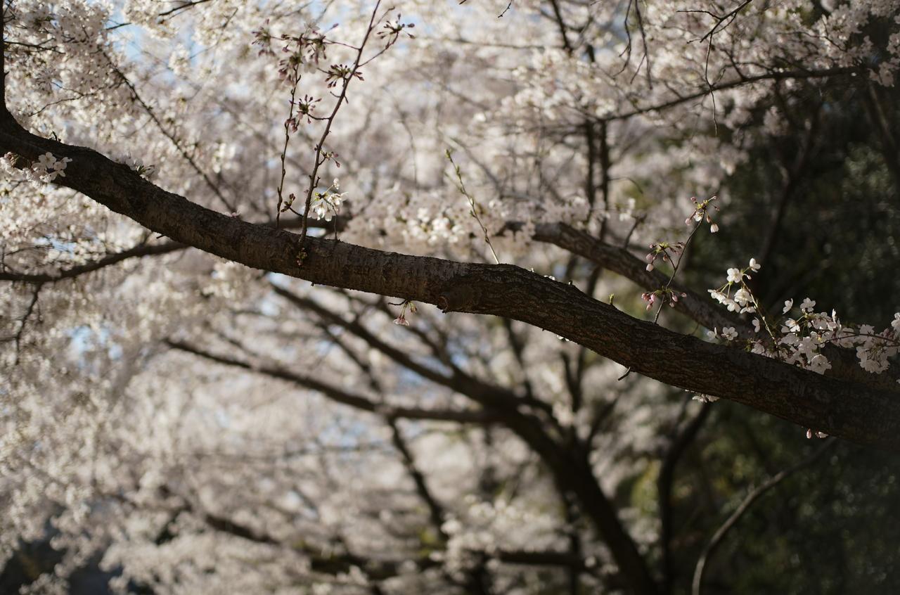 生命力のある桜と木肌