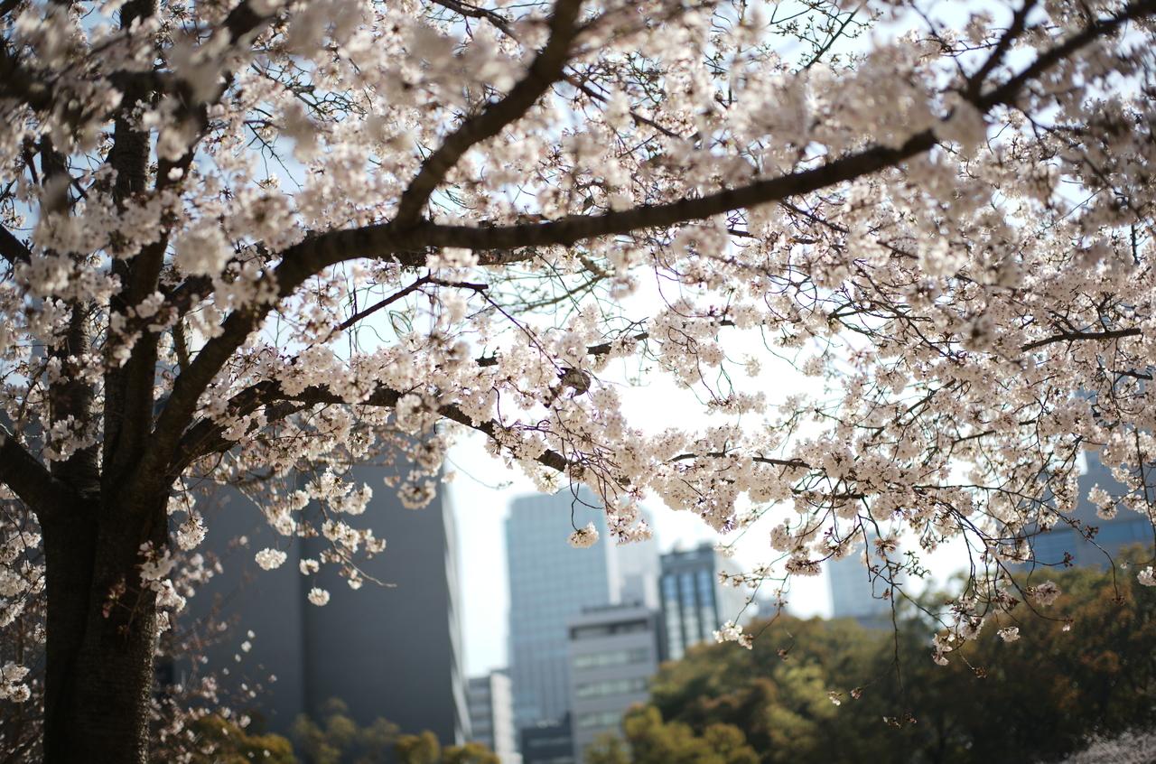 オフィス街の公園で咲く桜