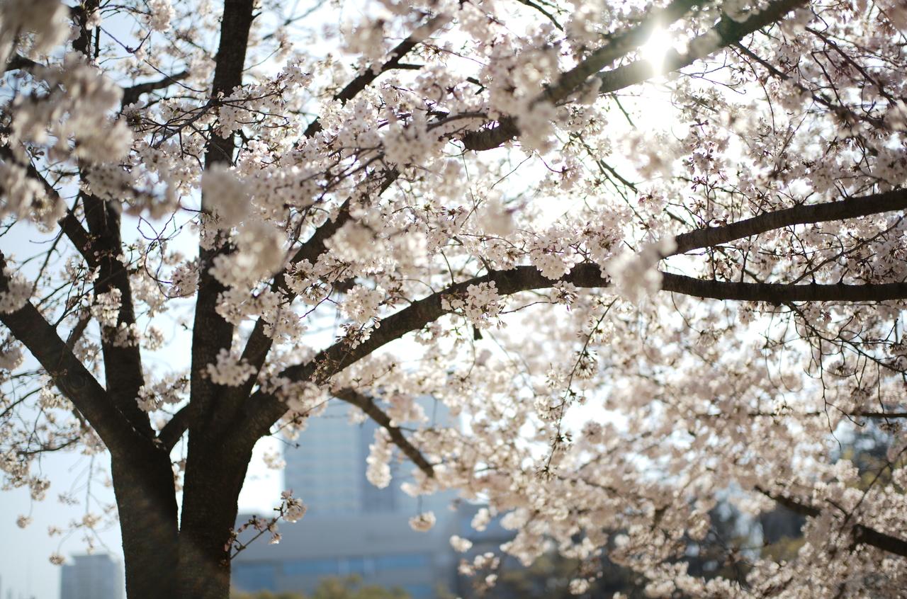 うっとりする桜の写真