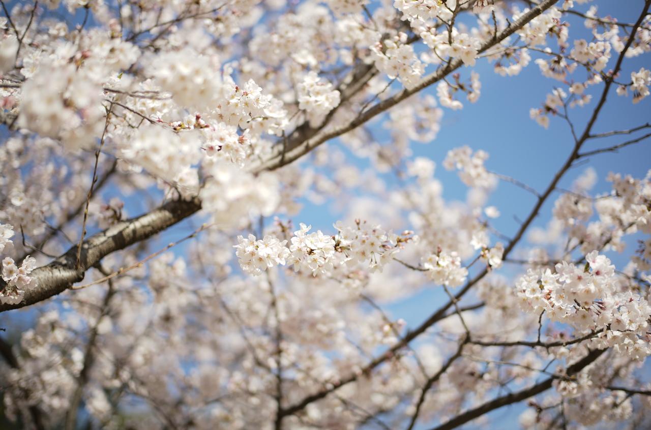 ボケが美しい桜と青空