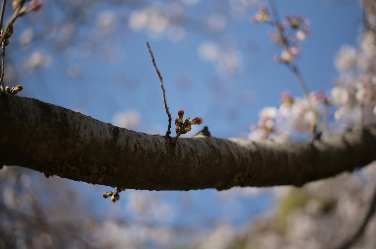靭公園で撮影した桜のつぼみ