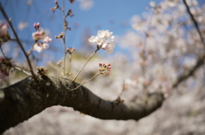 素敵な桜のつぼみ