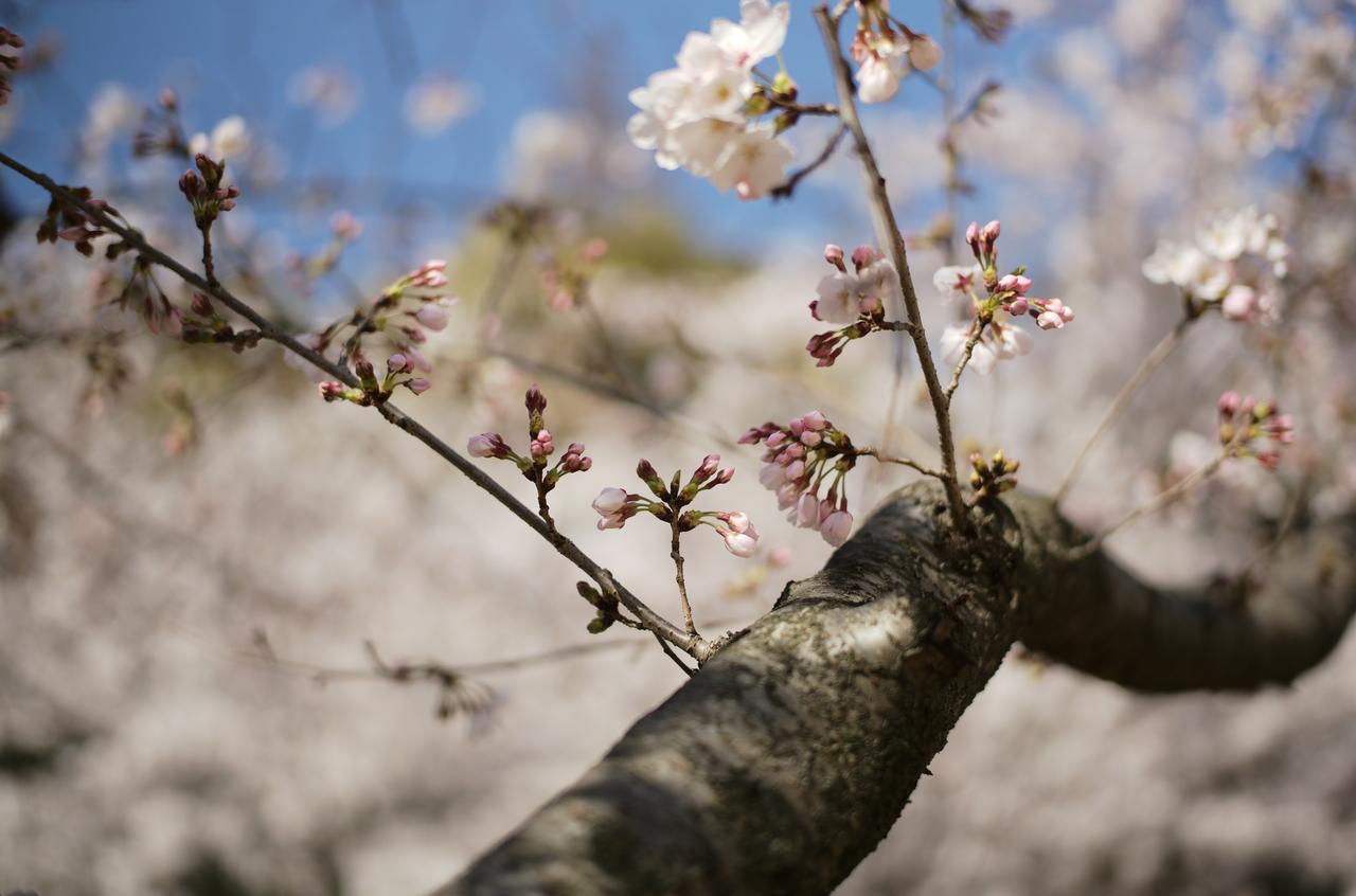 美しい桜のつぼみ