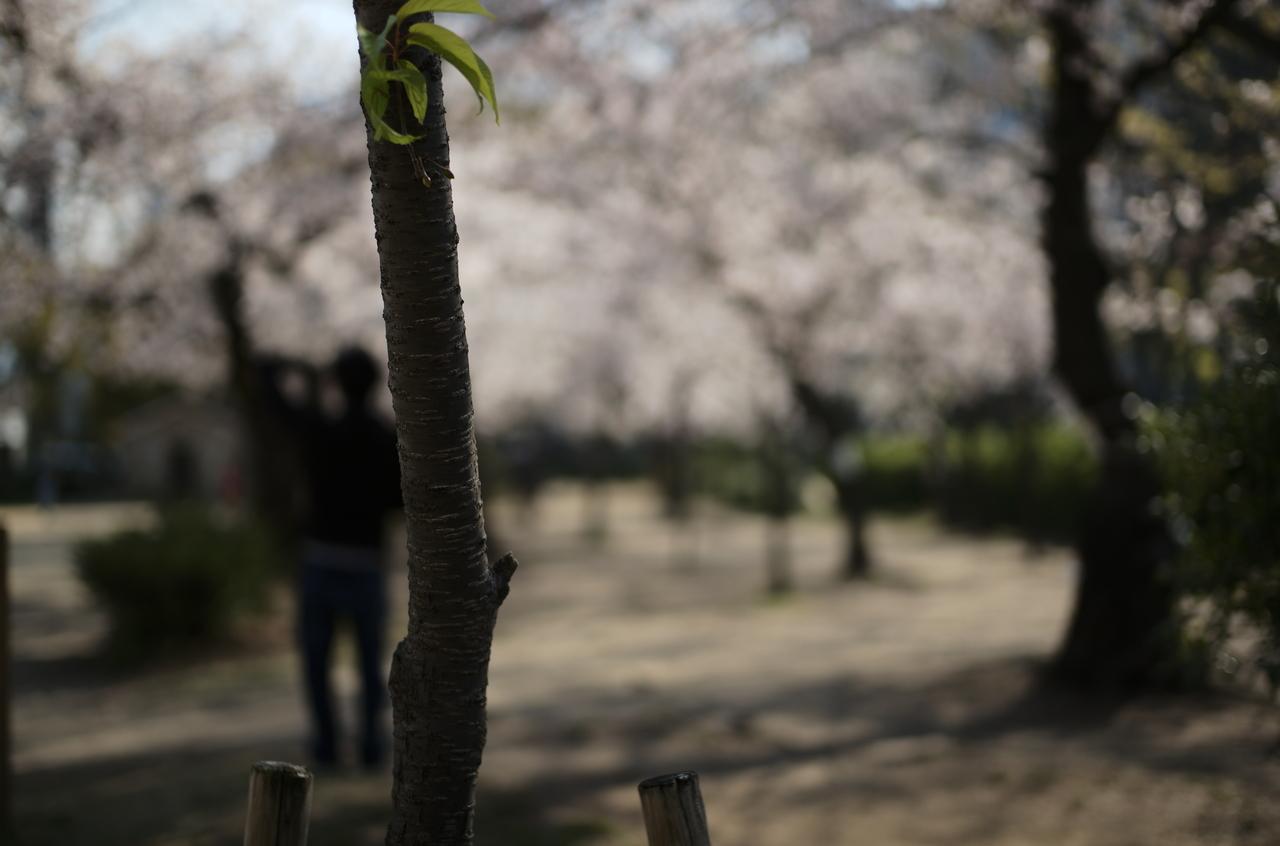 講演で撮影した桜とボケ