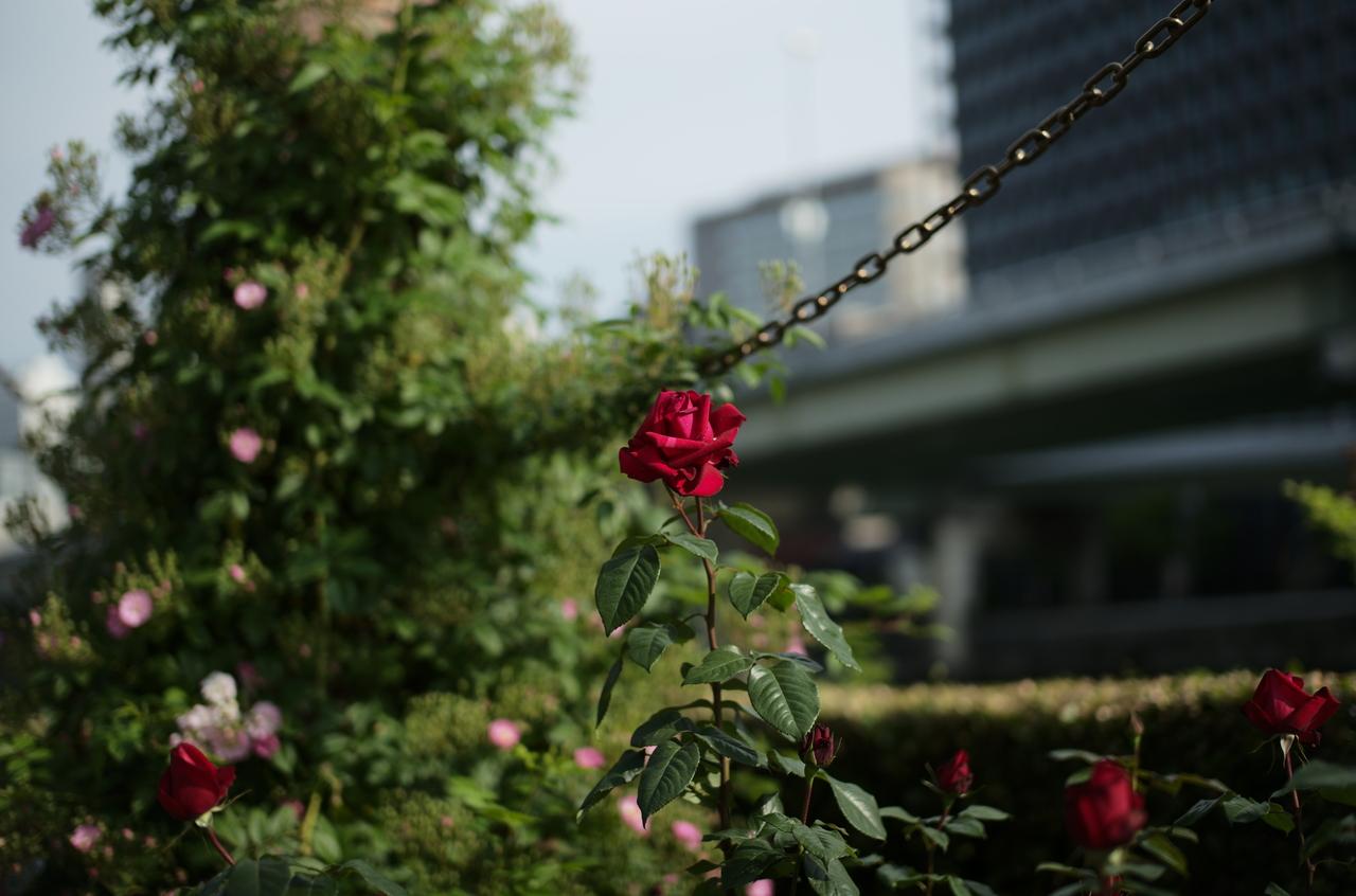 美しい真赤なバラと鎖