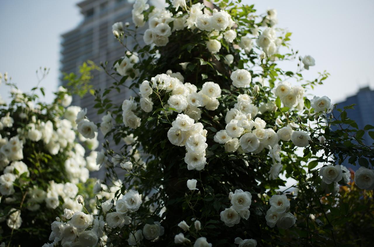 目を奪われるほど美しい白いバラ