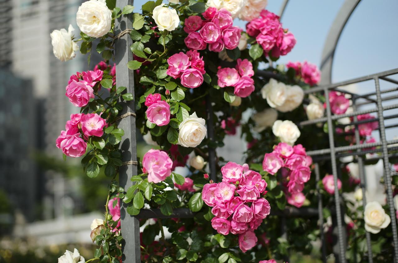 白とピンクのバラのマリアージュ