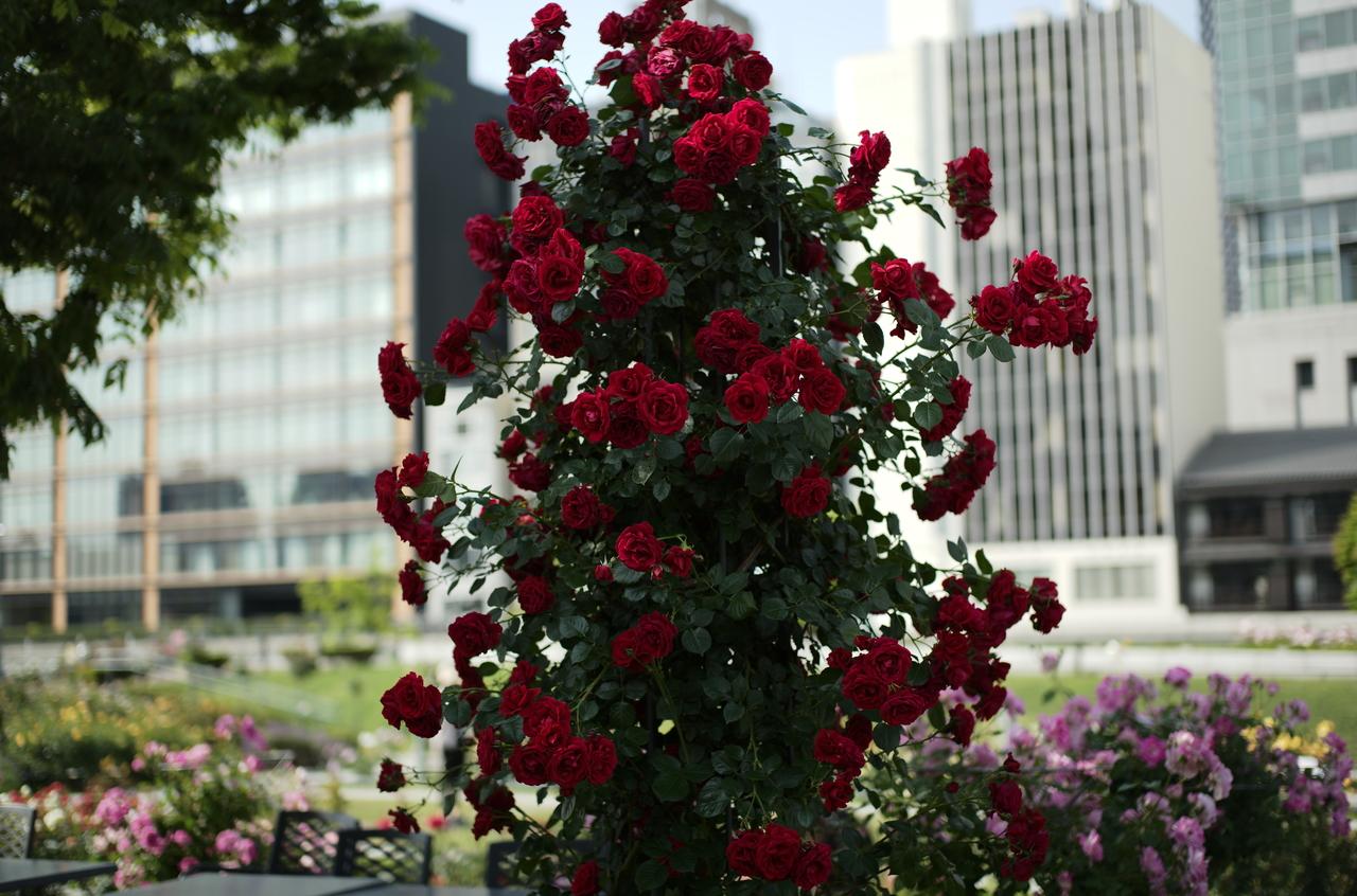 オフィス街の赤いバラ