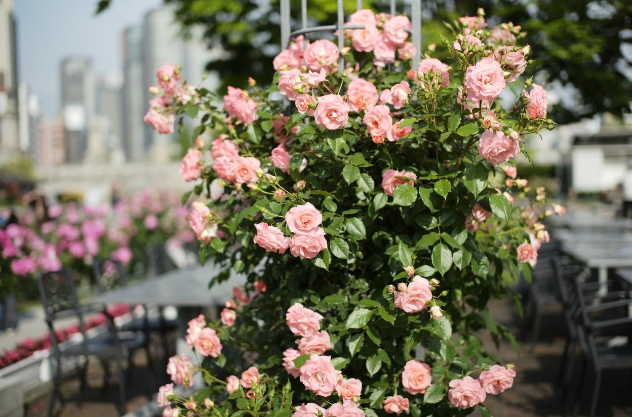 昼間に撮影したピンク色のバラ