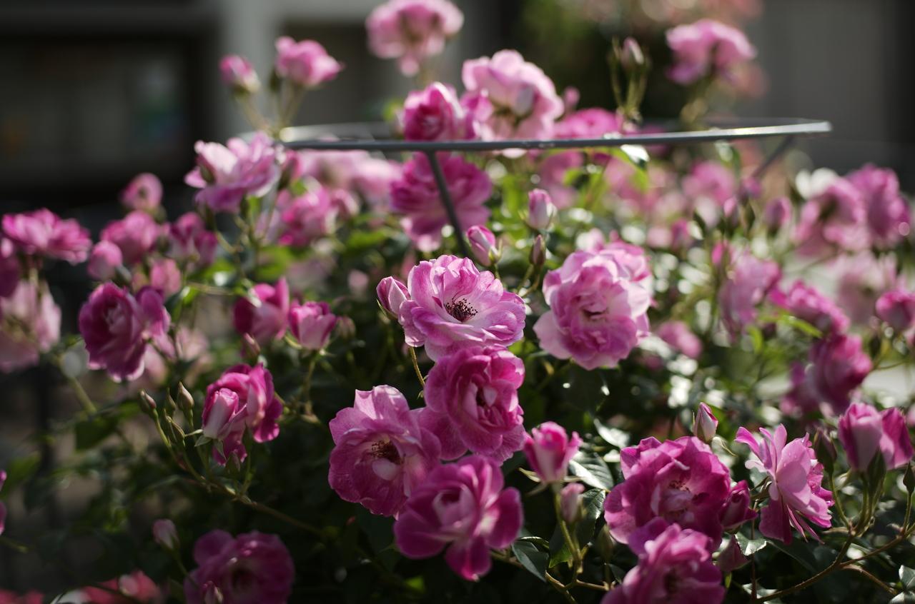 美しいピンクのバラとボケ具合