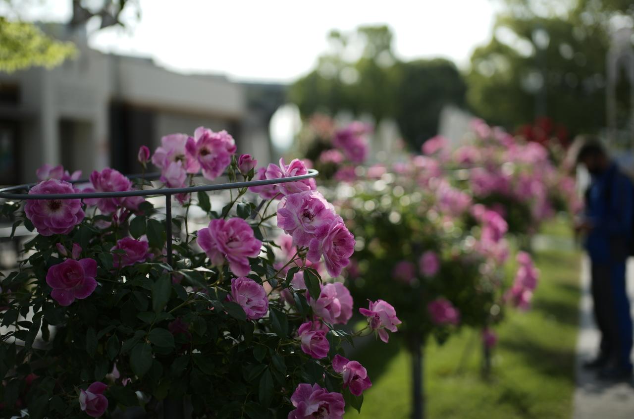 昼間に撮影した美しいピンク色のバラ