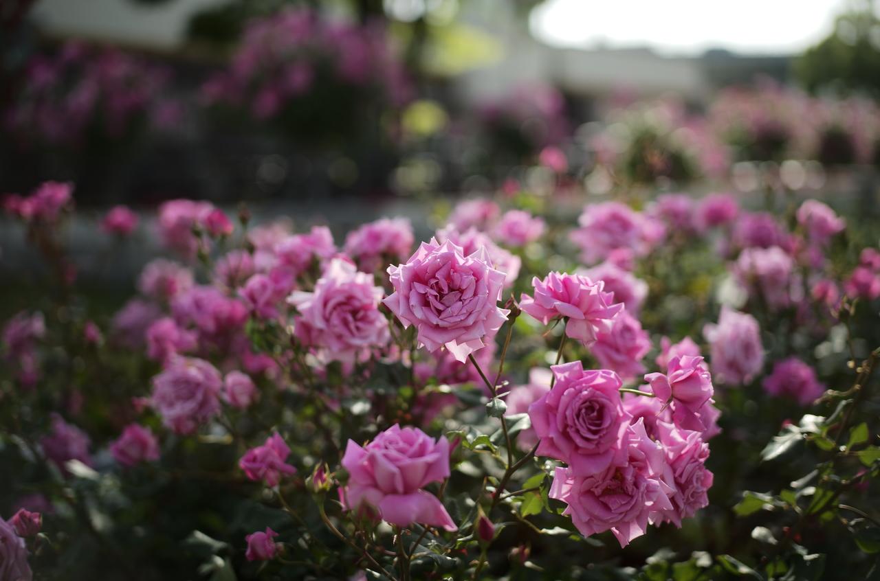 素晴らしいバラとボケぐあいの写真
