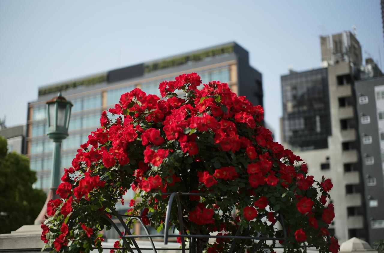 ビルを背景に撮影した美しいバラ