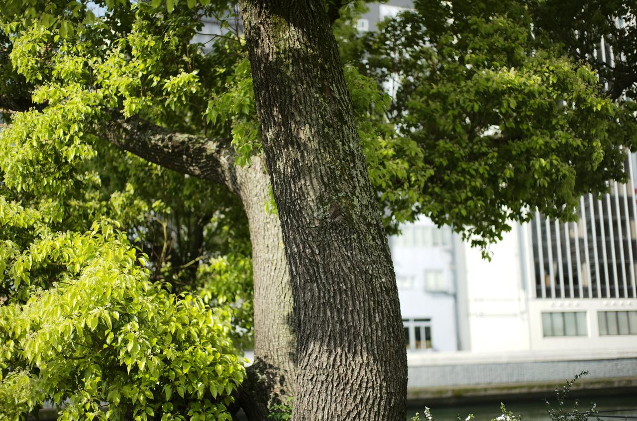 日のあたった美しい樹木の木肌とボケ