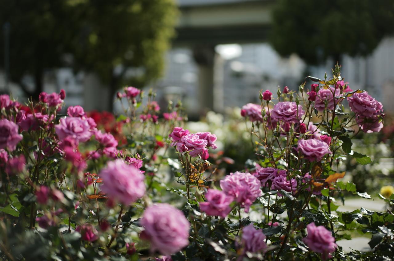 美しいピンクのバラと背景のボケ