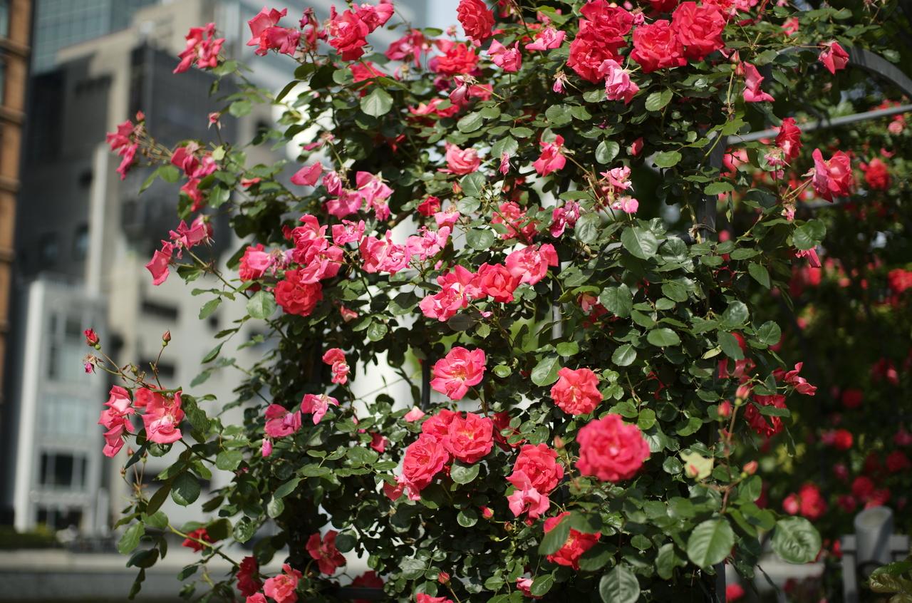 美しいバラと日差し