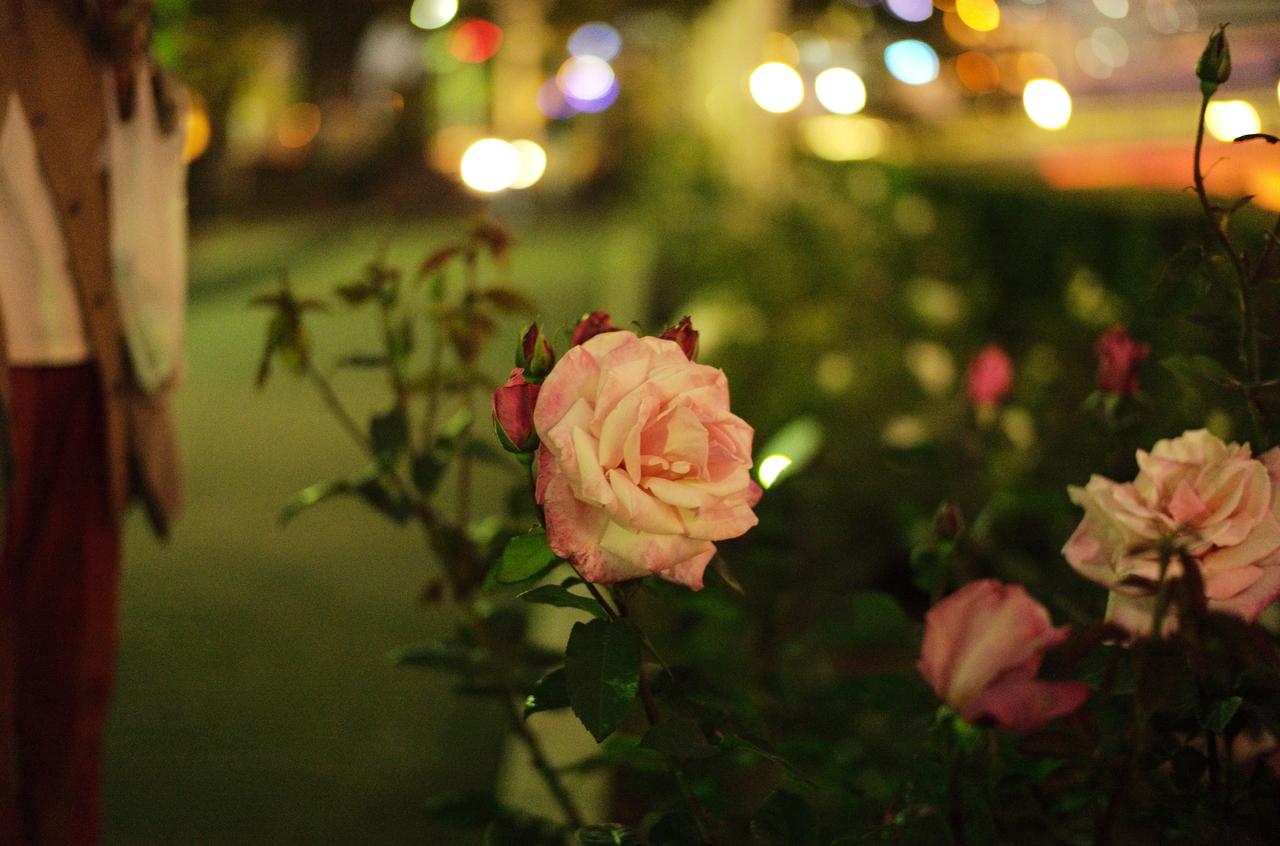 夜の中之島公園で映えるバラ