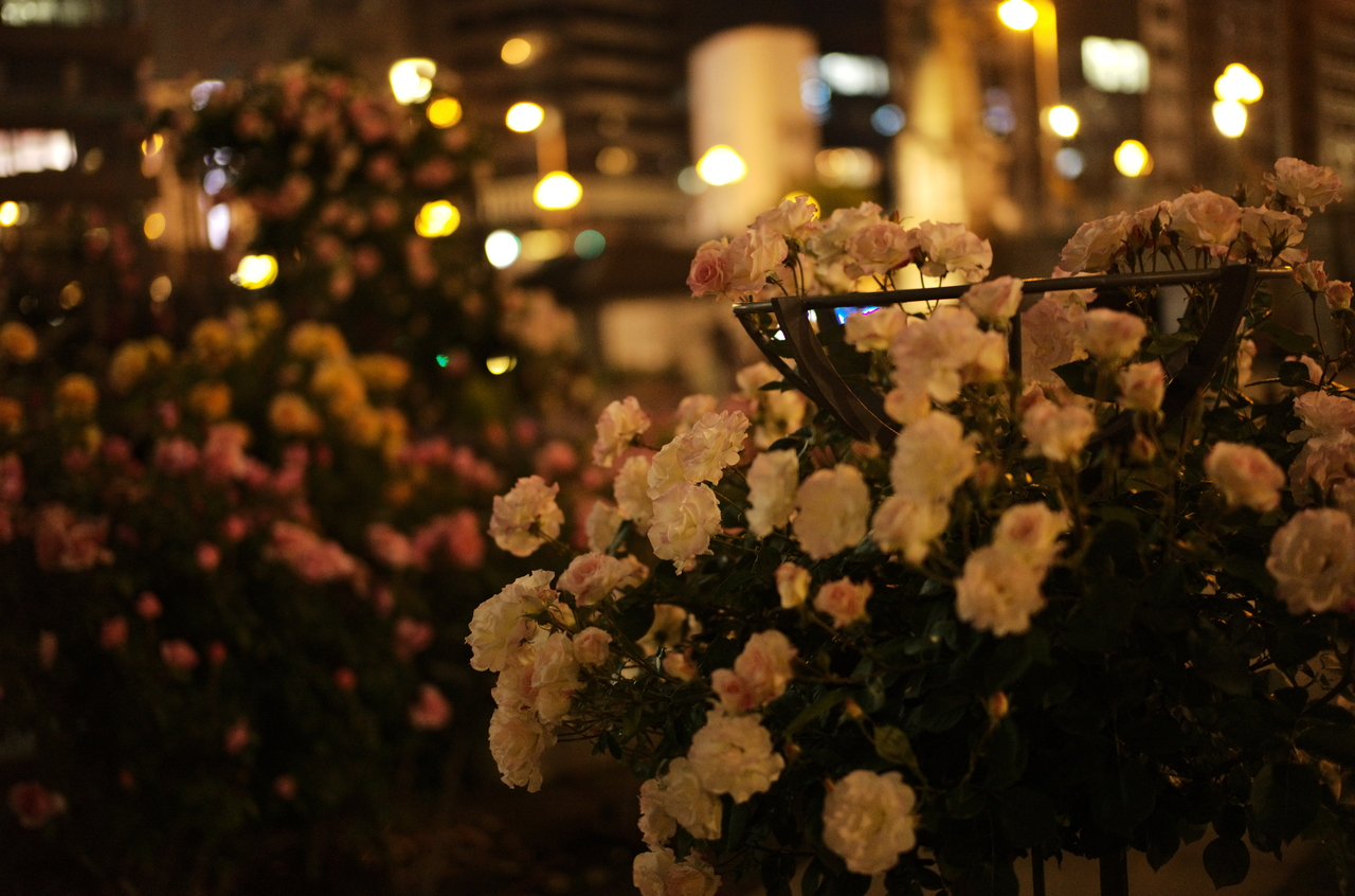 夜に撮影した美しいバラ