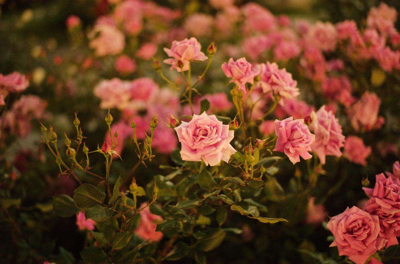 夜にライカで撮影した美しいバラ