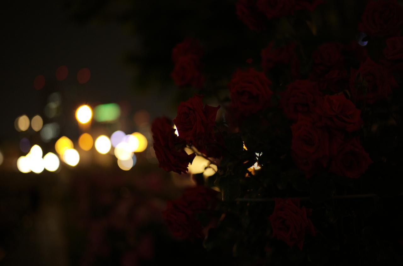夜の照明に映えるバラとボケ