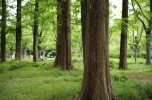 輝く樹木の木肌と公園の緑