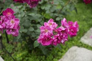 素敵なピンク色のバラとボケ