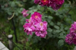 目を奪われるほど美しい赤いバラ
