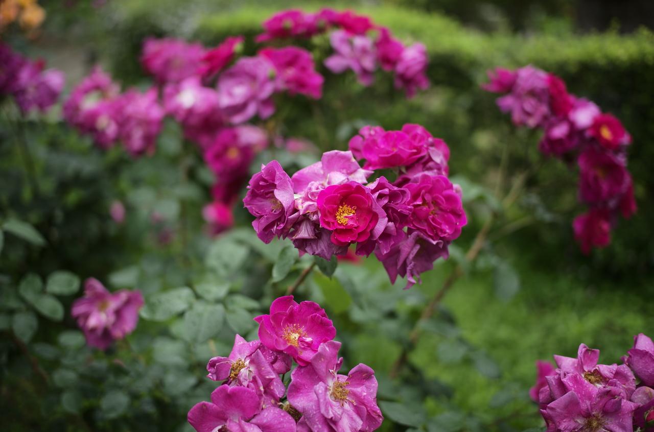 ライカで撮影したキレイな赤いバラ