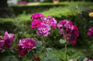 美しいバラと遠近感の表現