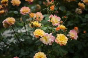 ライカで撮影した黄色いバラ