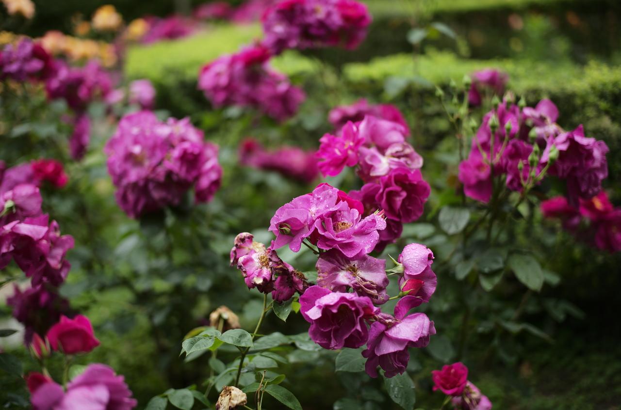 濃淡のあるバラの写真