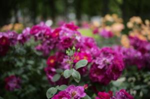美しいバラと芽吹き