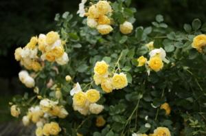 美しい黄色いバラ