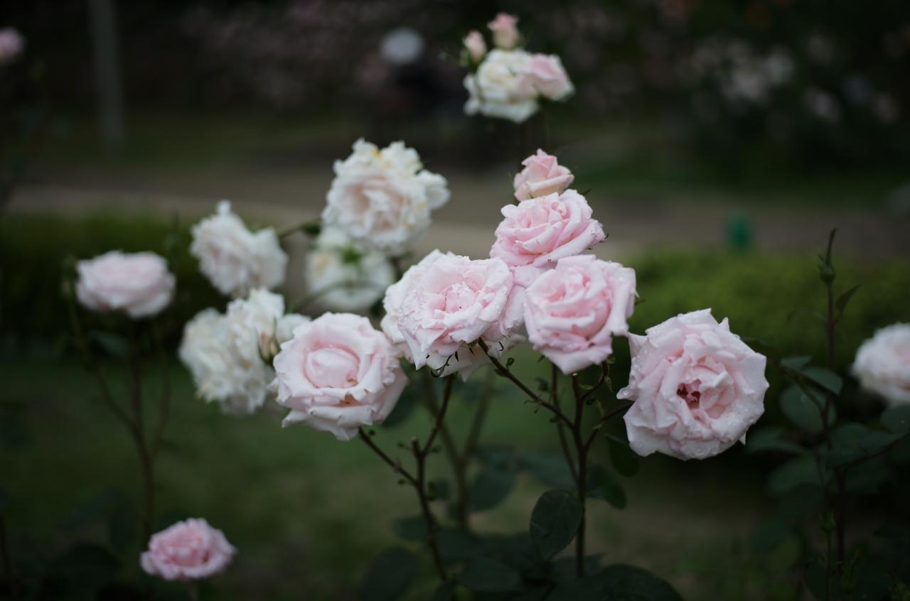 美しいピンク色のバラ