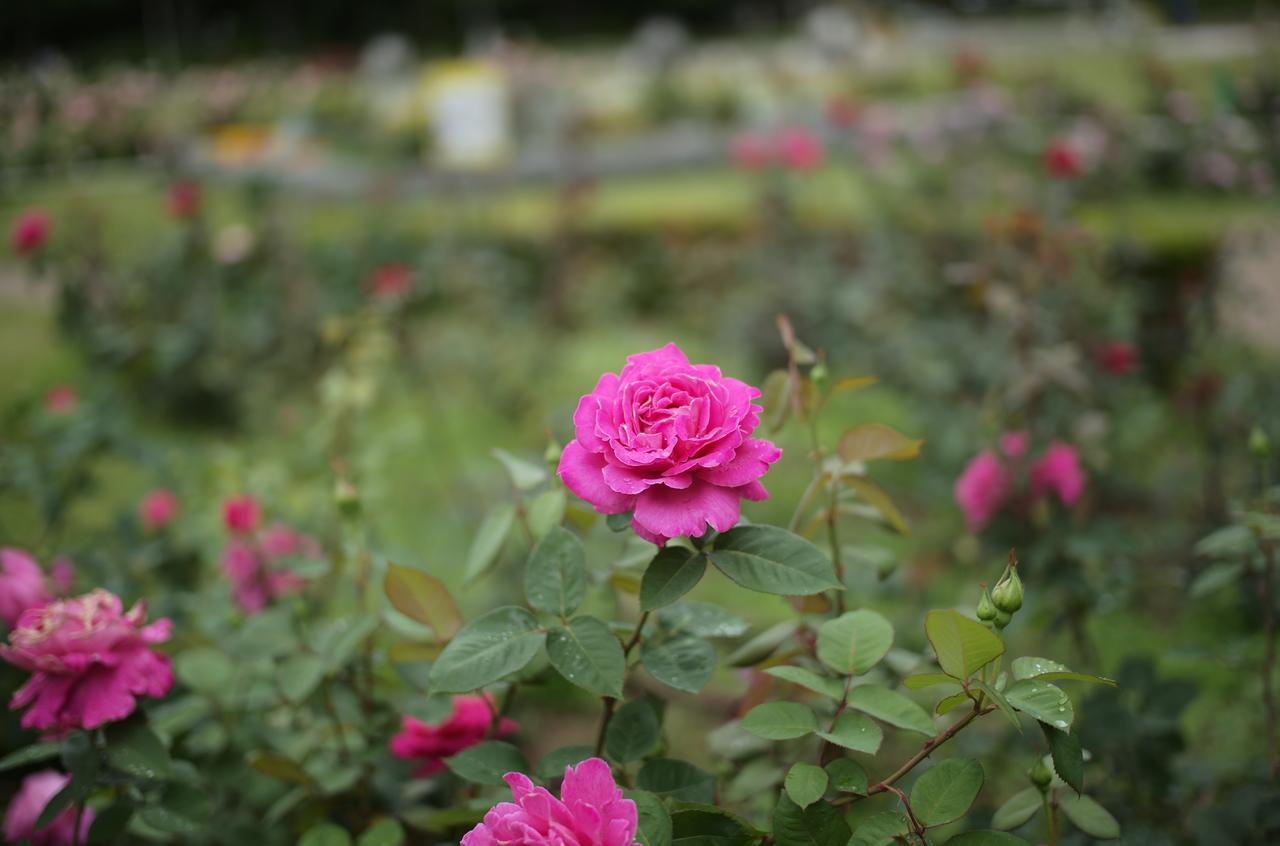 ボケ具合が美しいピンクのバラ