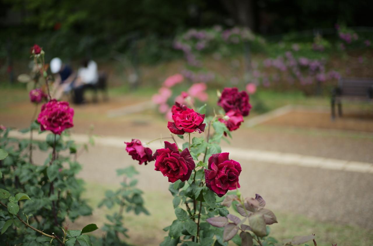 公園に咲く、目を奪われるほど美しい赤いバラと