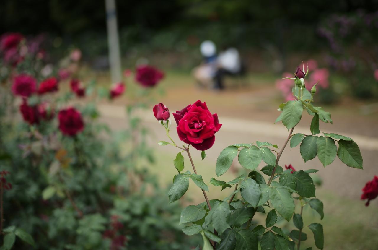 美しい一輪の薔薇