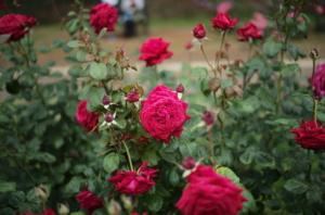 目が覚めるような赤いバラ