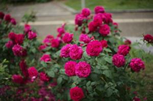 靭公園で撮影した美しい赤いバラ