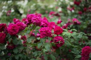 鮮やかで美しいバラと草木